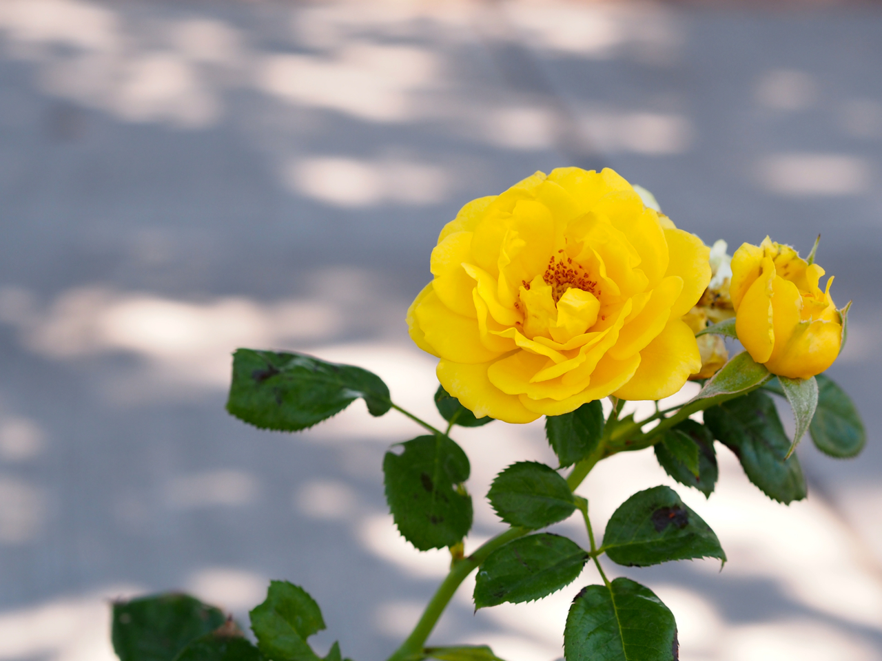 walking on sunshine rose