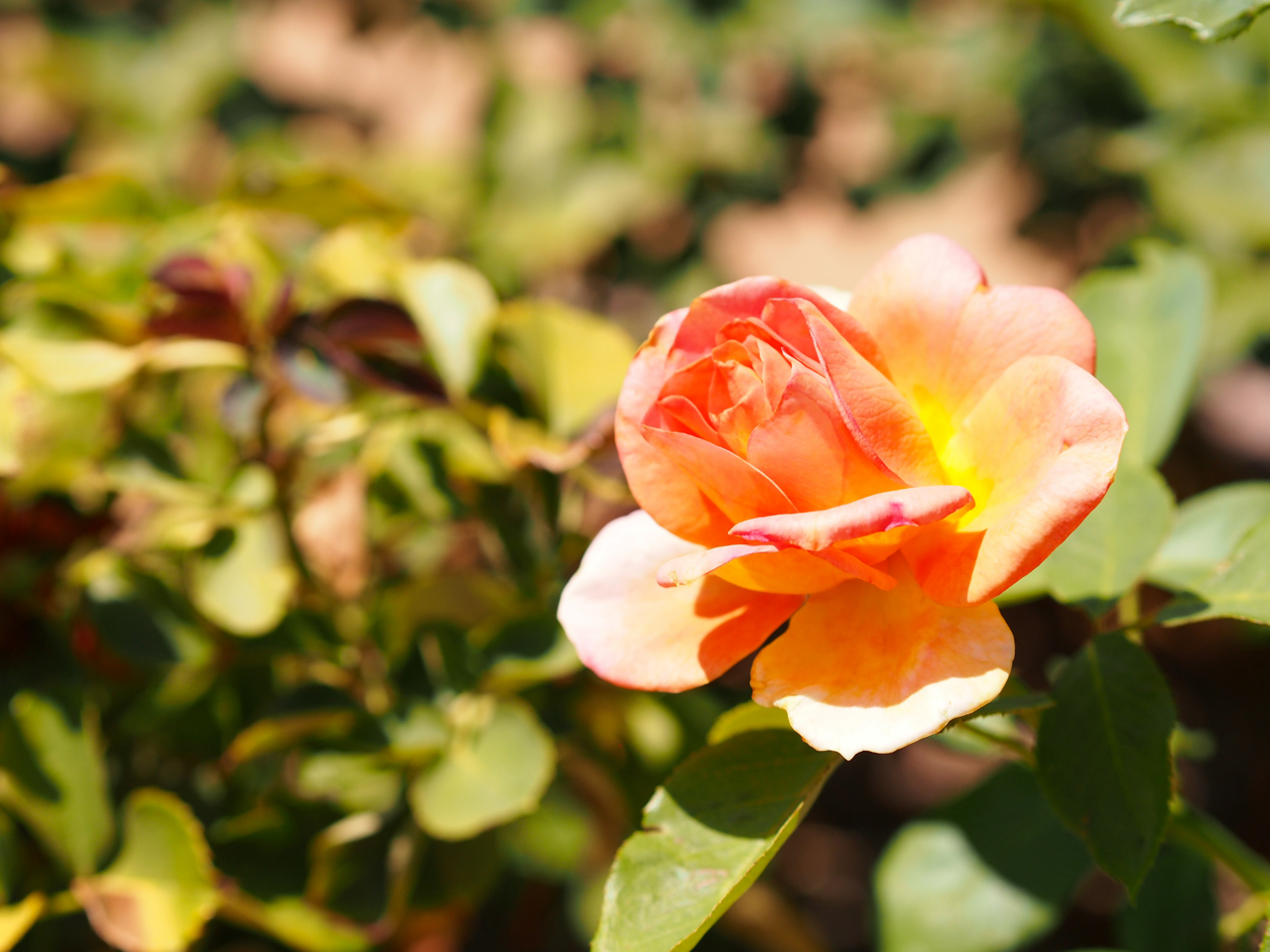 bronze star rose
