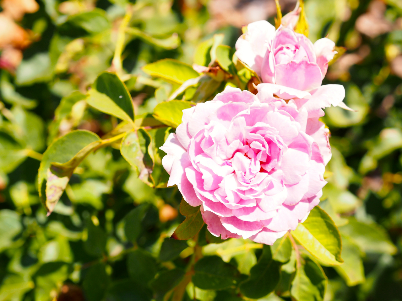 love song rose.jpg