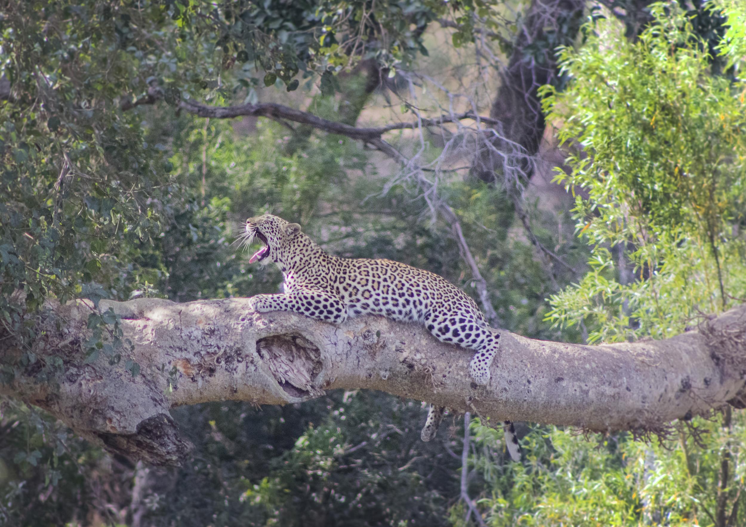 leopardyawn.jpg