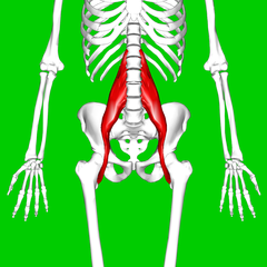 The location of the psoas muscle in the body.