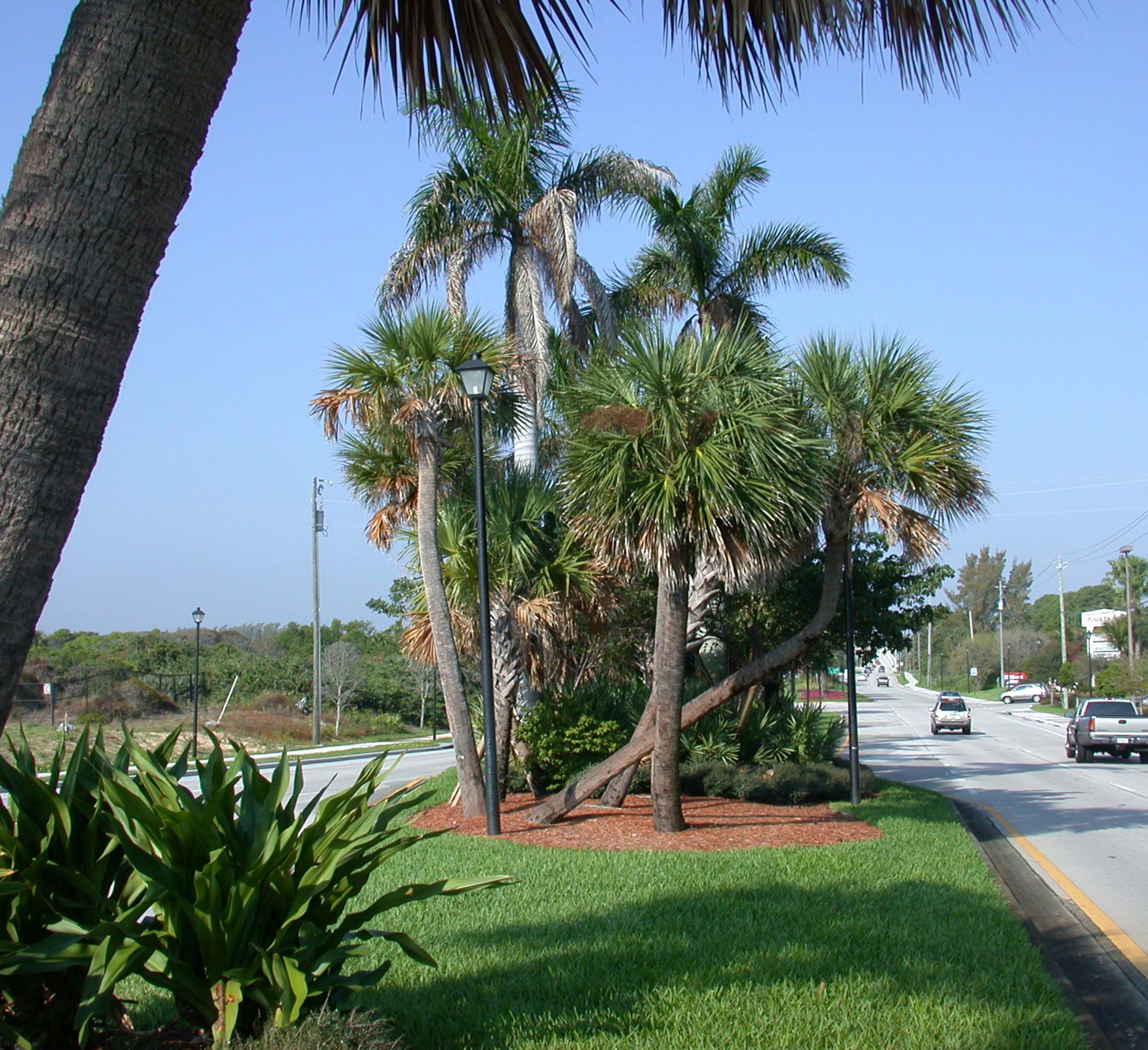 Donald Ross Road Palm Beach County Florida Landscape Sabal Palm Clusters.jpg
