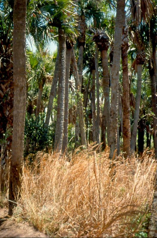 Dyer Landfill Reclamation Palm Beach County Florida Sabal Palm Flatwoods.jpg
