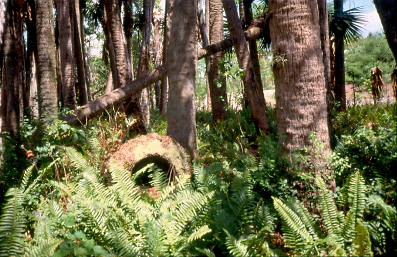 Dyer Landfill Reclamation Palm Beach County Florida Sabal Palms Wetland.jpg