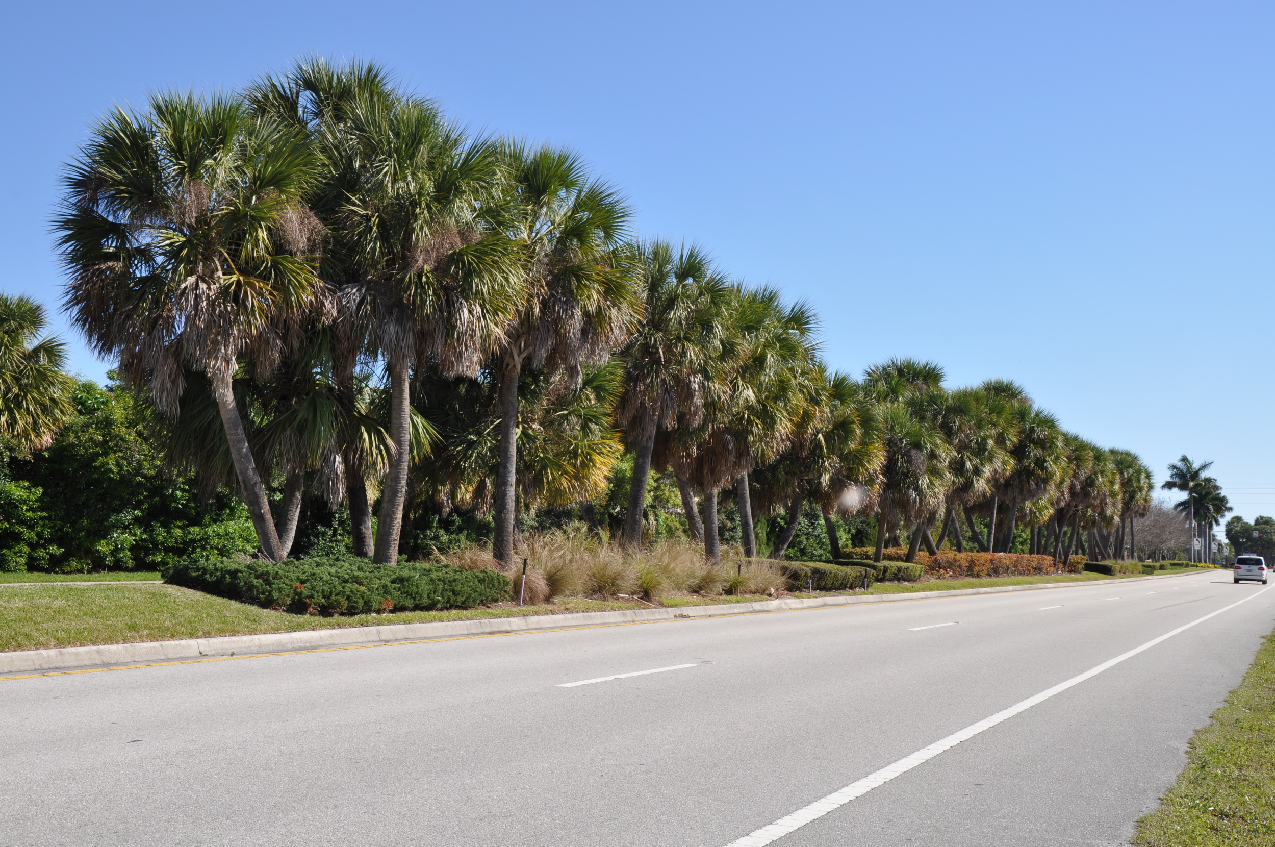 Indian Creek Parkway Jupiter Florida Cabbage Palm Cluster.JPG