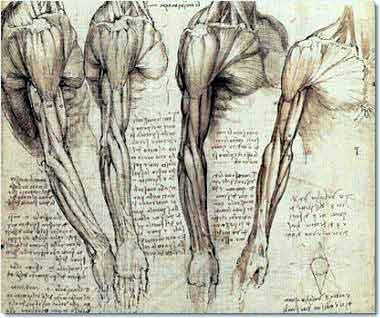 Leonardo da Vinci Muscles of the arm and shoulder in rotated views, c. 1510 Anatomical Studies, folio 141v