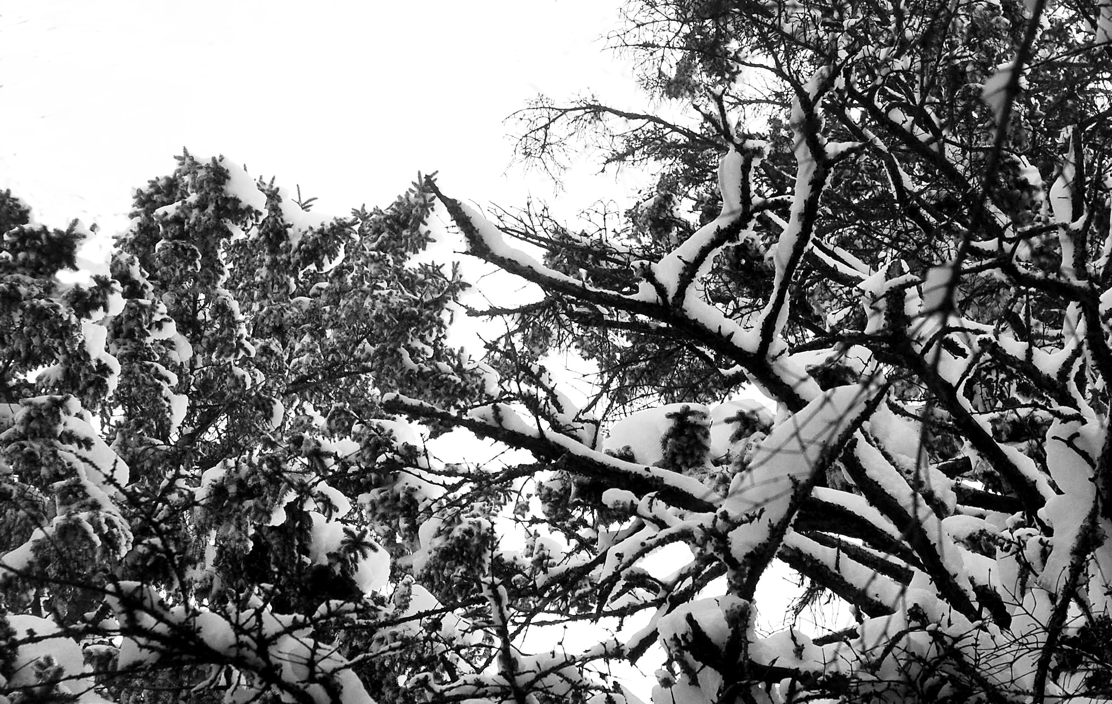Interlacing Branches after a snow storm, edited Black and White.