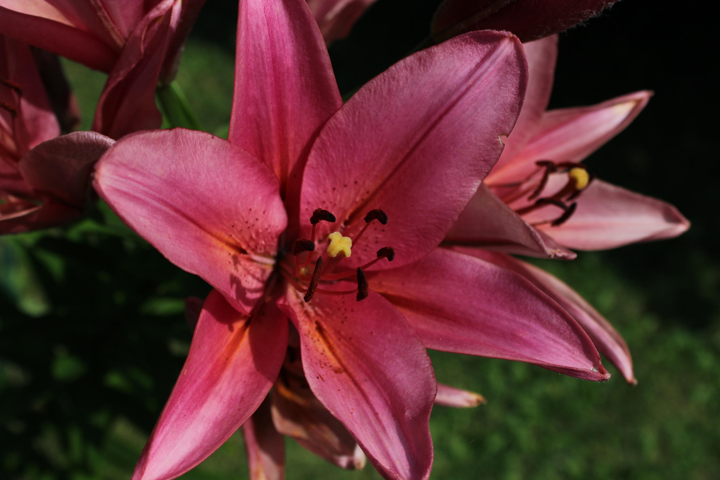 A pink/salmon colored lilly.