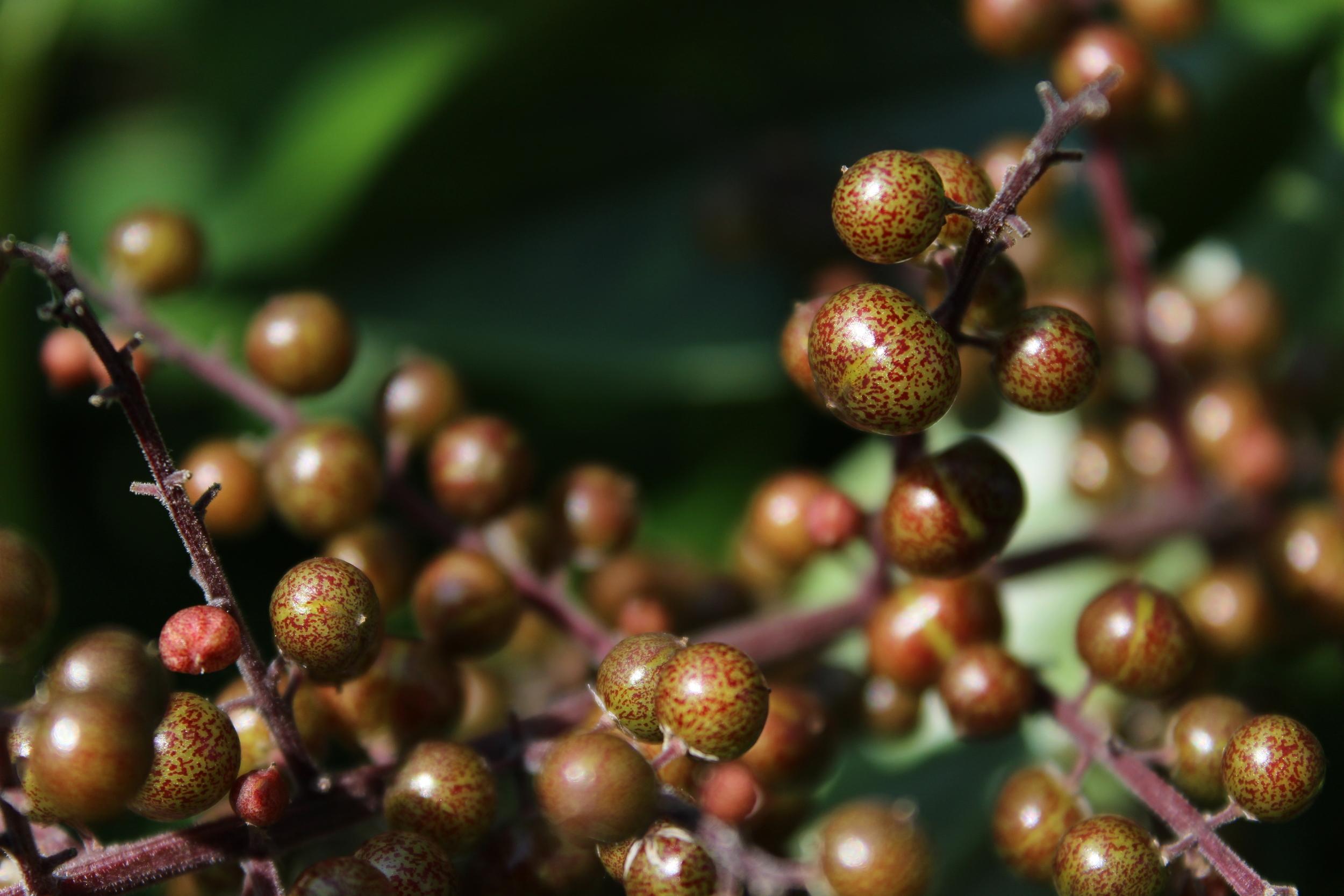 Solomon's Seal berries catching the sun.