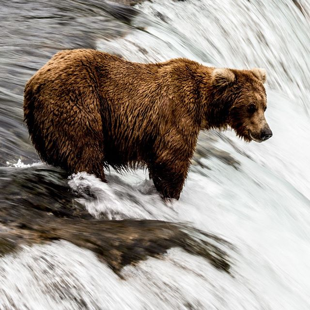 Brown Bear at the Katmai National Park and Preserve June 2017