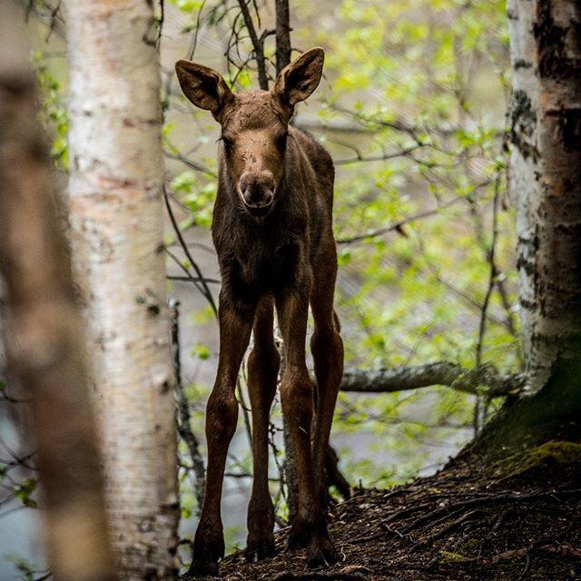 Baby Moose at Yukla Yurt, Eagle River Nature Center, Alaska May 2018