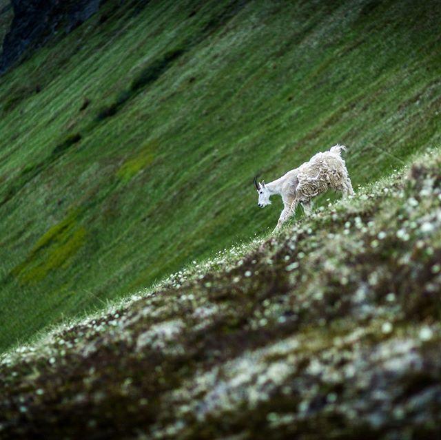 Mountain Goat on Point Hope Trail in Hope, Alaska