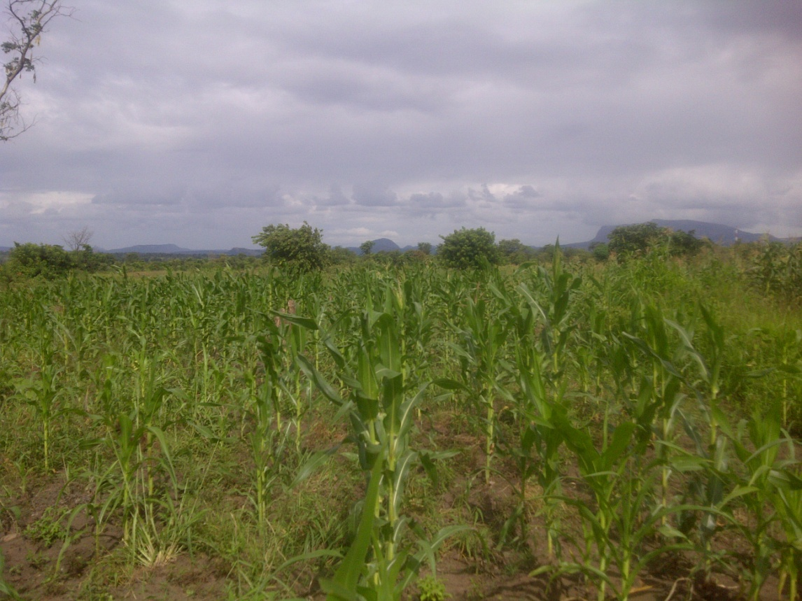 Macaderia crops