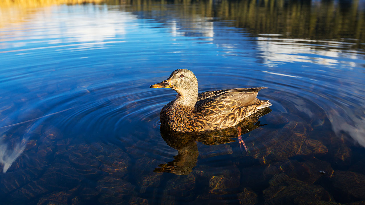 That's one contented duck right there.