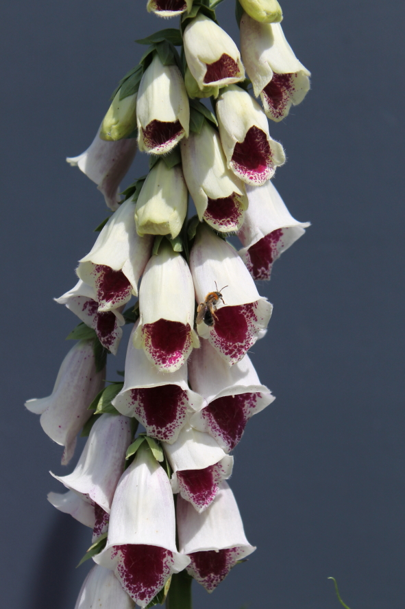 Digitalis 'Pams Choice'.JPG