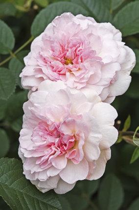 Rosa 'Rosemoor'.jpg
