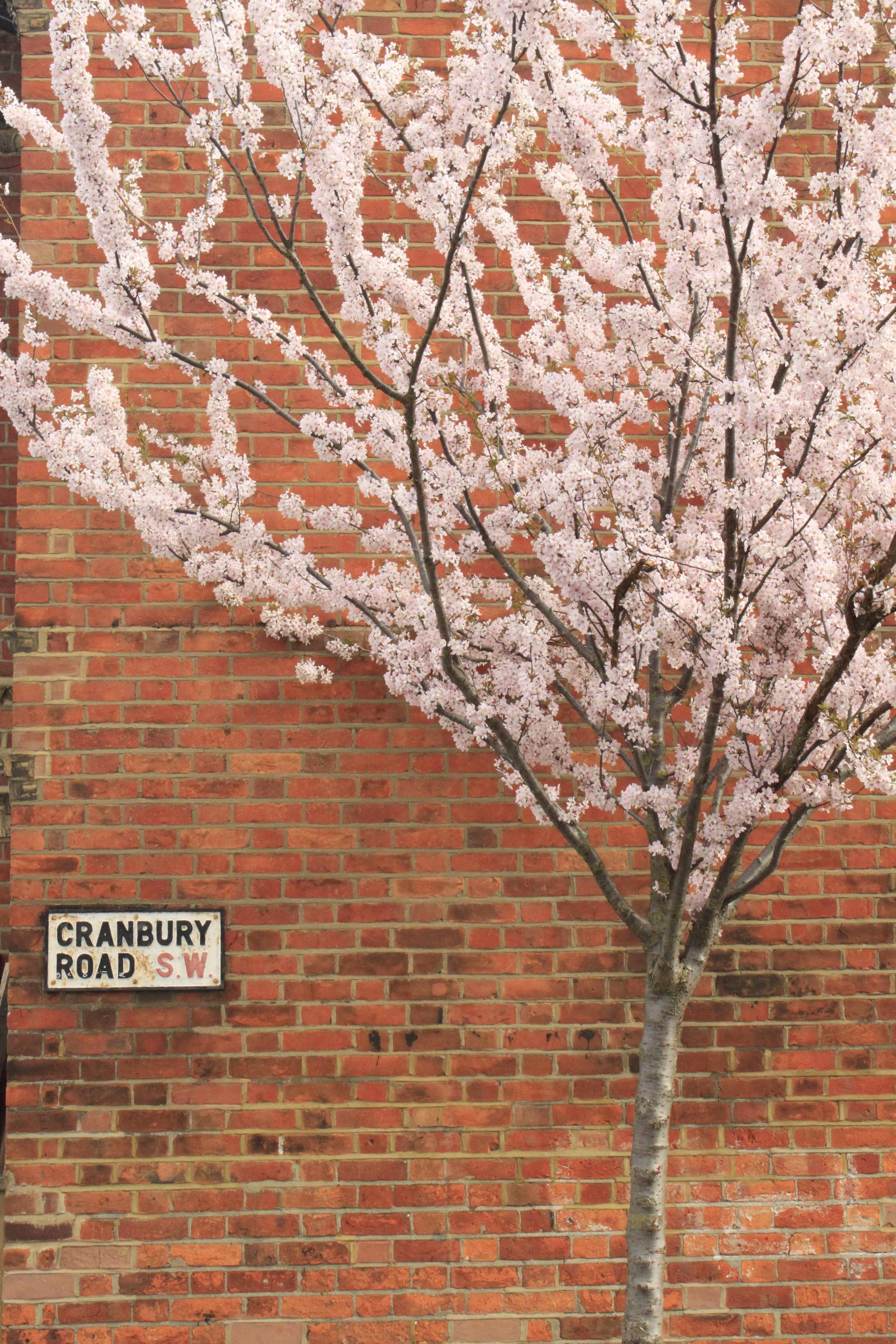 Cherry-Blossom-small.jpg