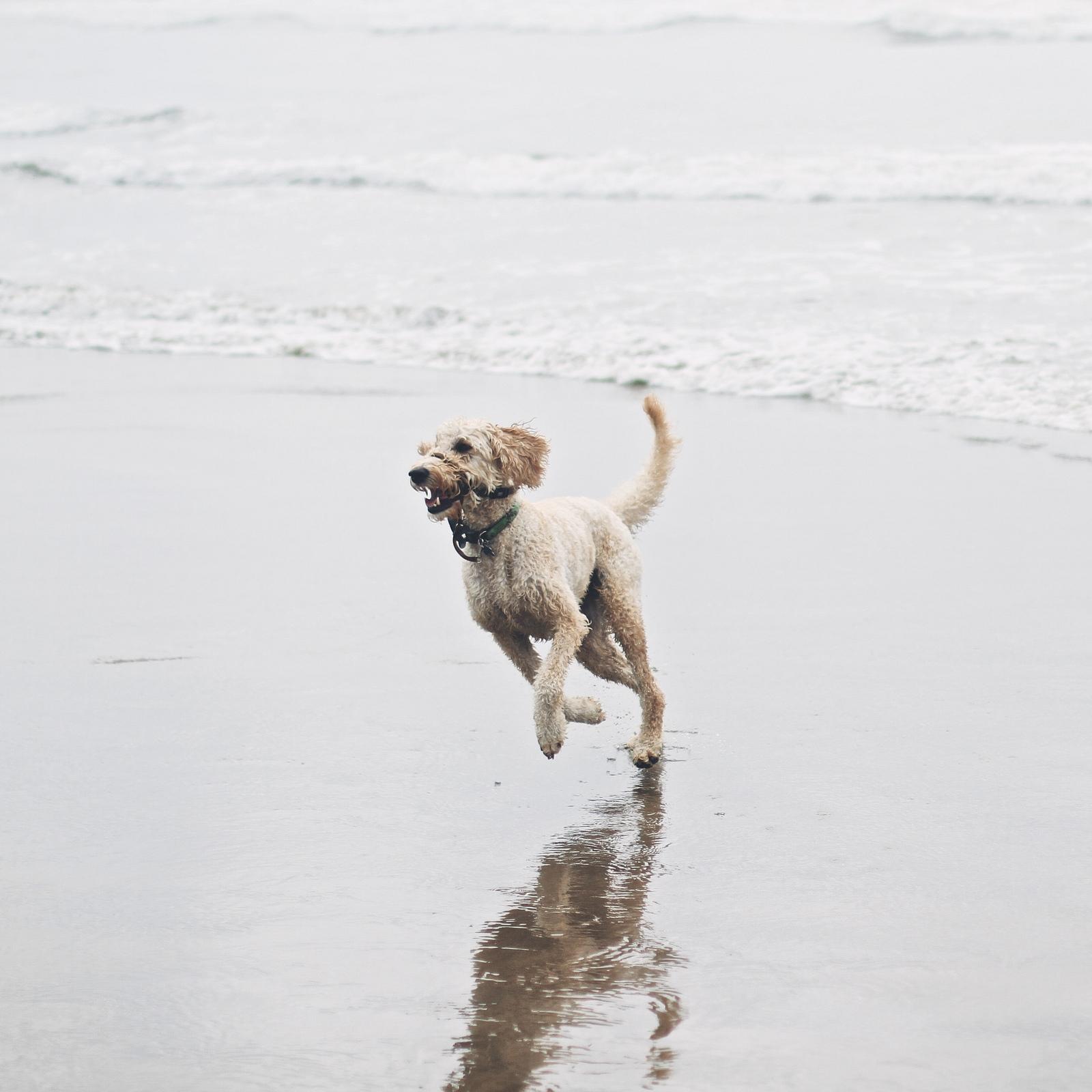 Cannon Beach Dog