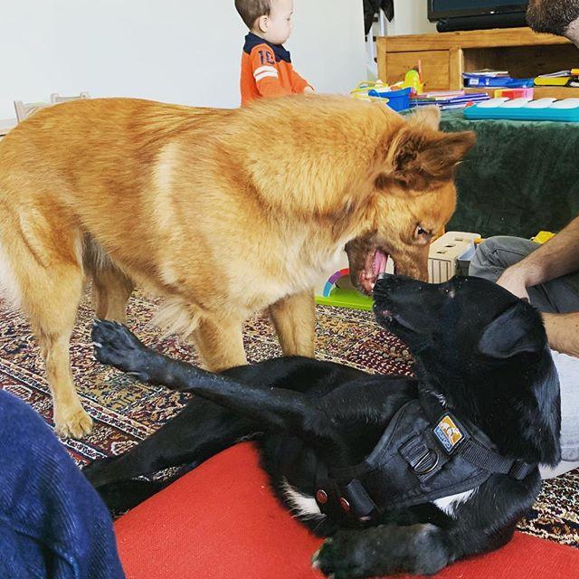 Doggo playdate with Korra and Vinnie! Getting along great! Both alumni from #saveourscruff !
