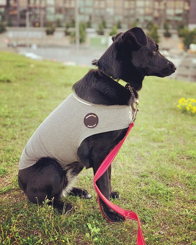 Korra is ready for the scary fireworks! Trying a thunder shirt on her. Last time there were fireworks at night, she was scared to go outside at night for nearly a week after. I'm hoping this helps! #saveourscruff