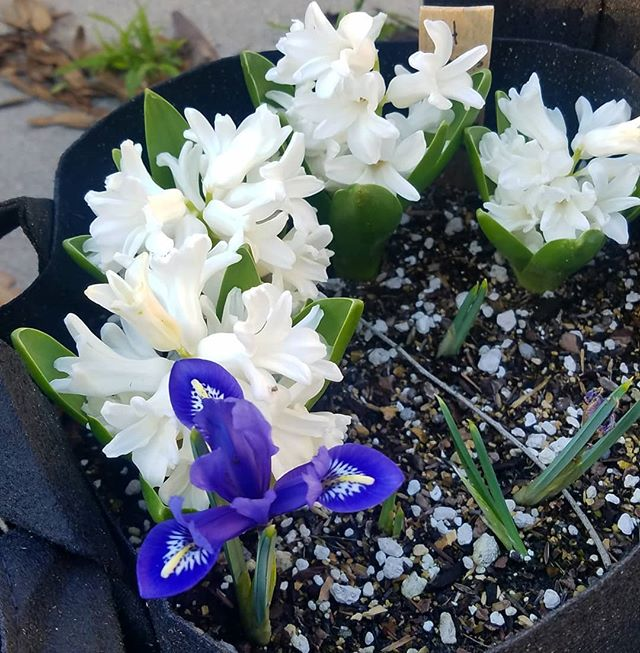 My blue and pink hyacinths are at the end of their run but these ones decided to show up.  Let's just say my backyard smells heavenly right now!