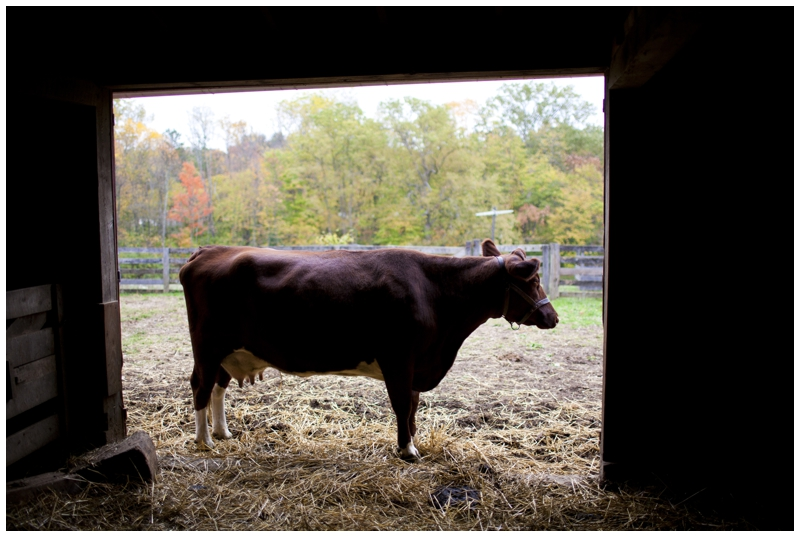Went inside the barn and waited for the rain to pass...met a cow :)