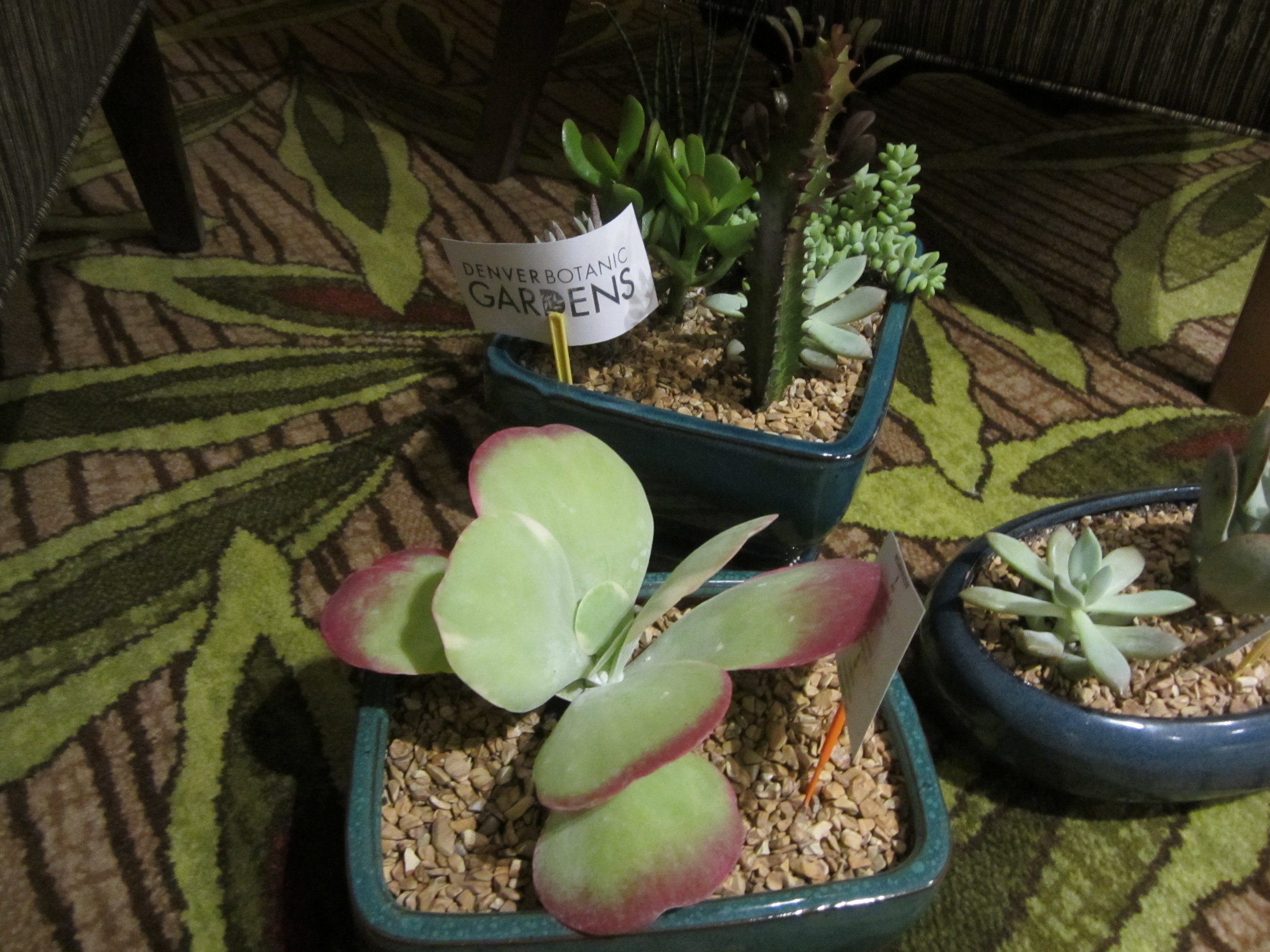 Succulents provided by the Denver Botanic Gardens for the Quiet Room.