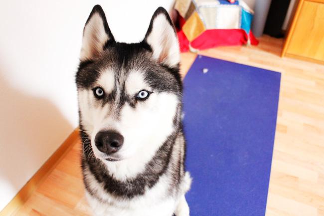 Buckles, my Siberian husky.