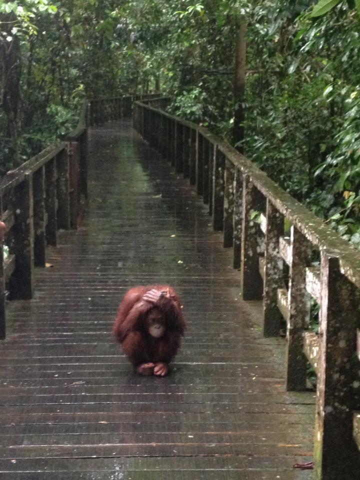 orangutang-in-rain.jpg