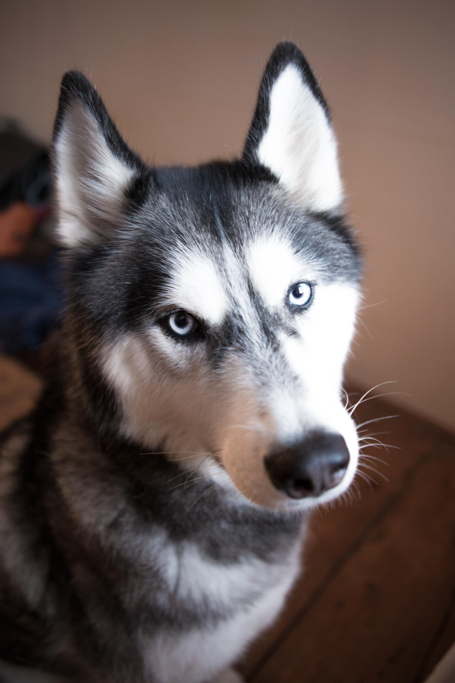My siberian husky turned 6 this week