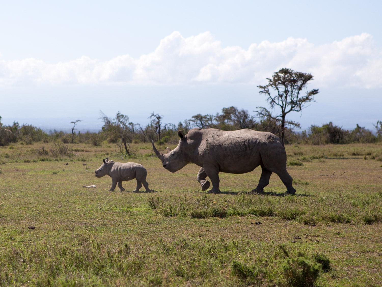 Mama and baby rhino