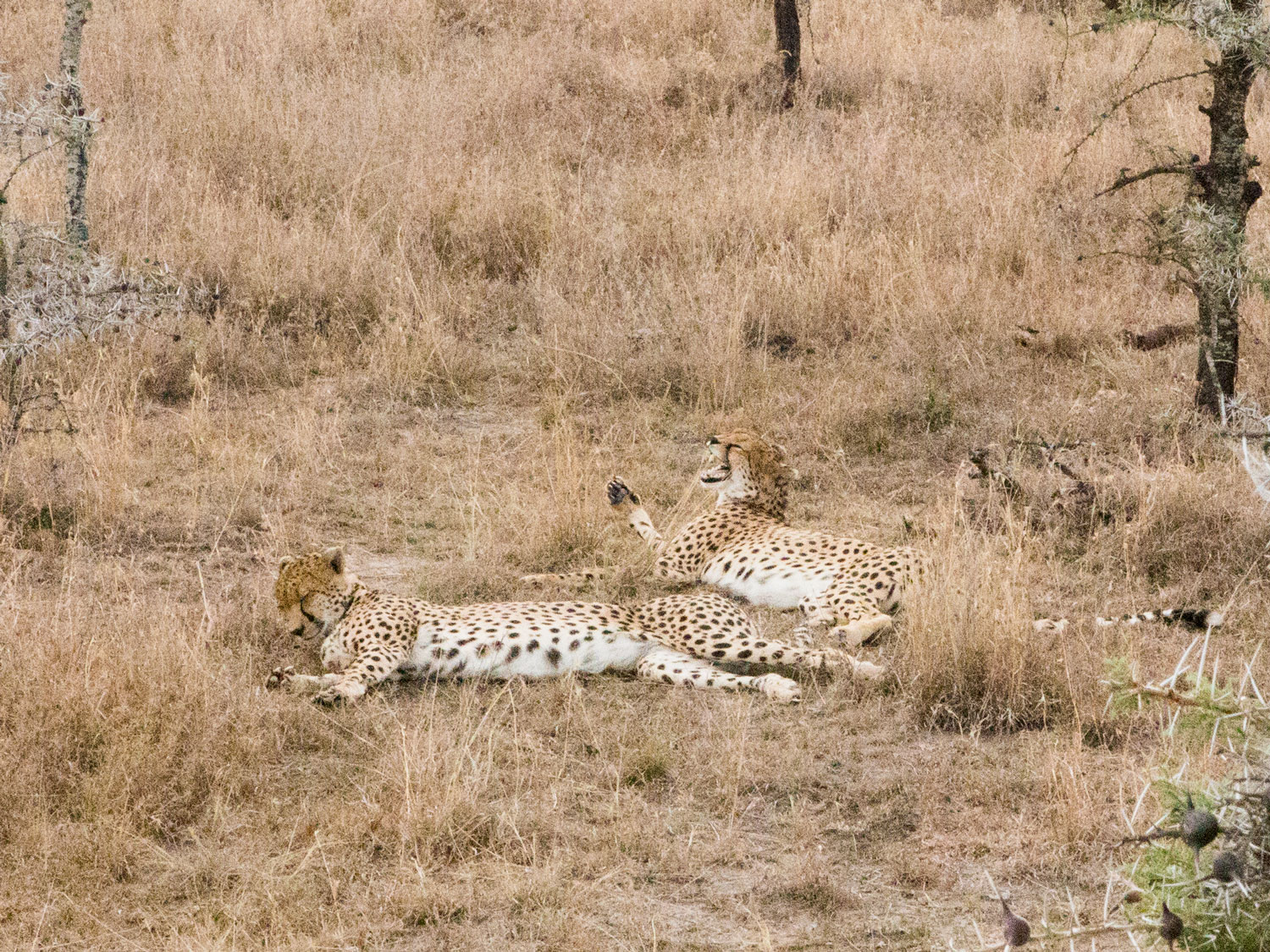 Two cheetah brothers resting
