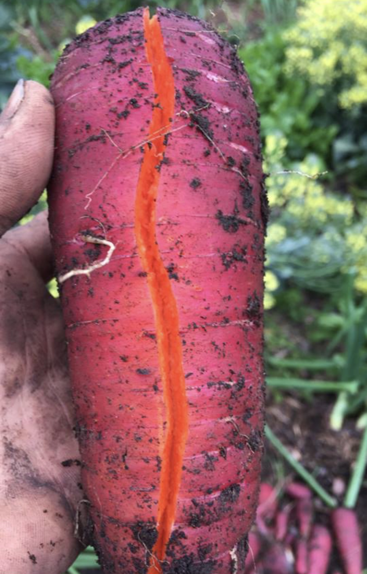 Couldn't get over the colors of this carrot