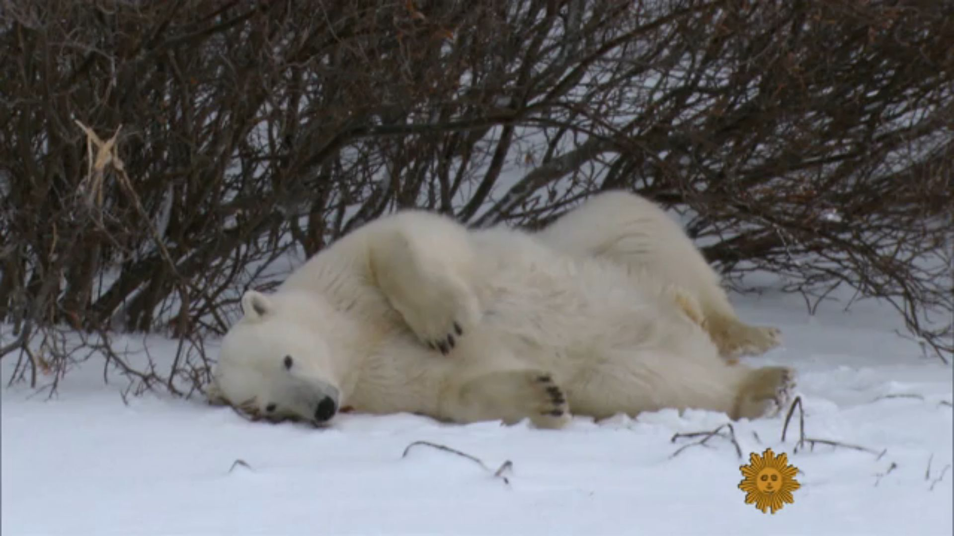 Click the image above and you'll be taken to the CBS Sunday Morning segment on polar bears.