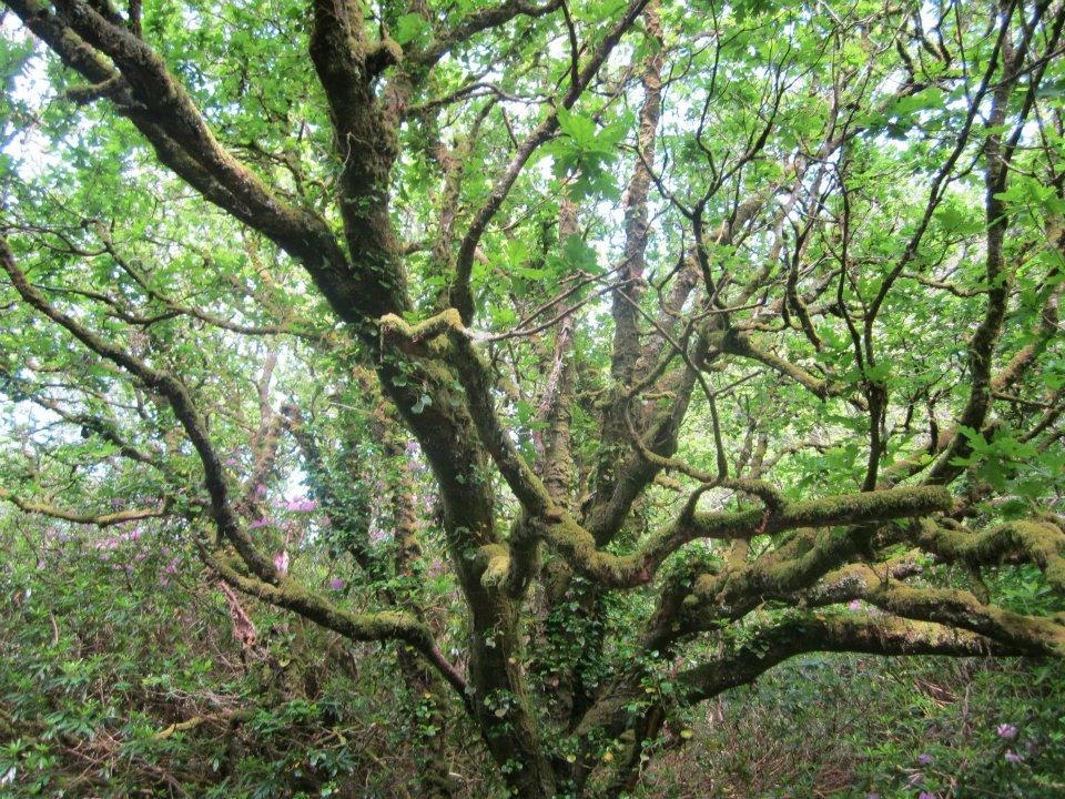 sligotree.jpg