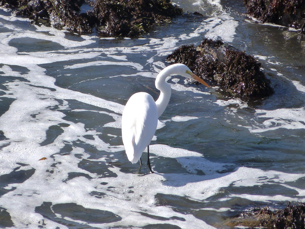 1 White Heron.jpg