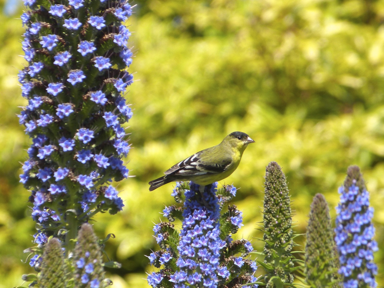 294 No Lesser Goldfinch.jpg