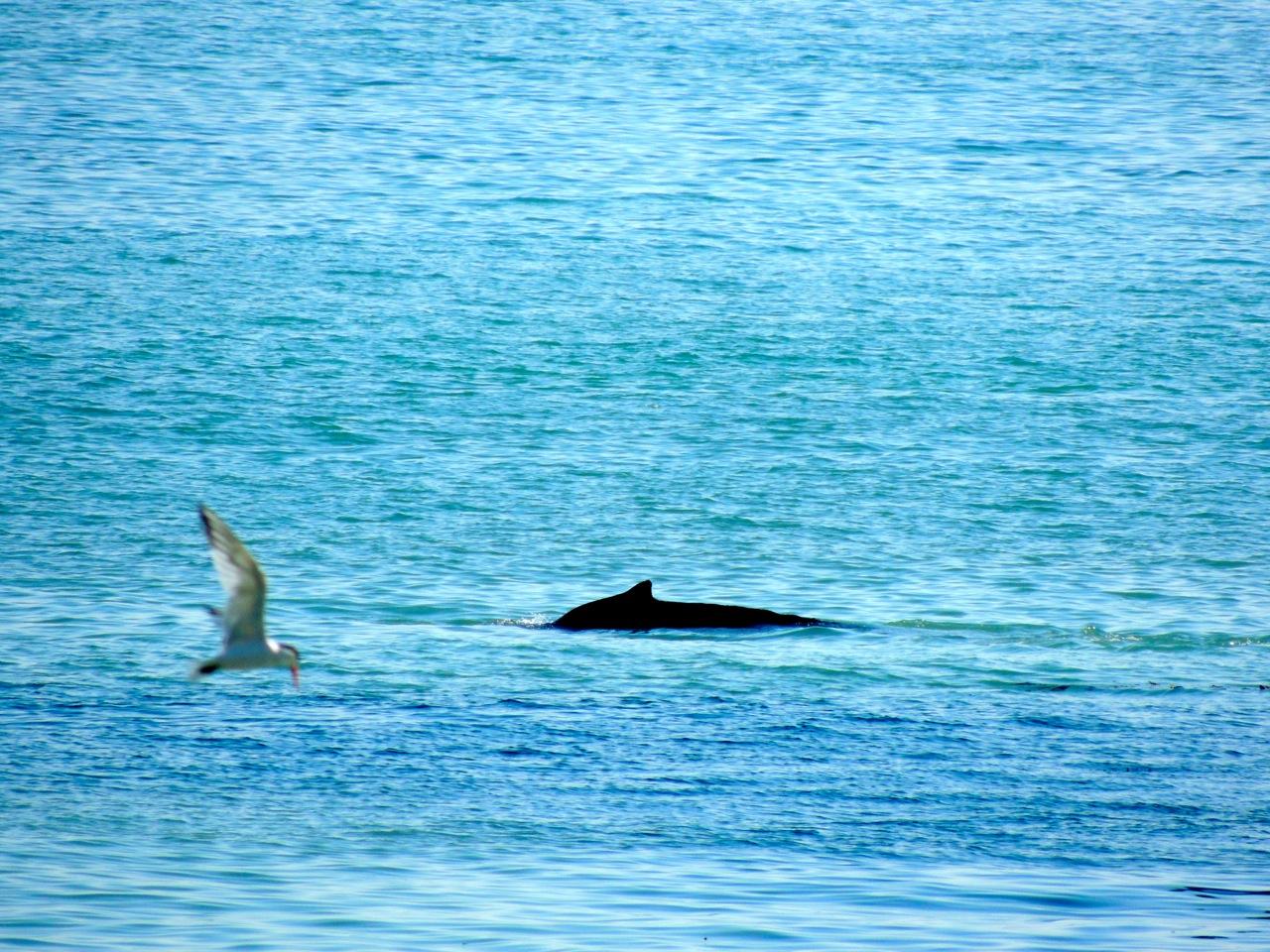 Double whammy: Humpback whale and Elegant (or Caspian) tern.