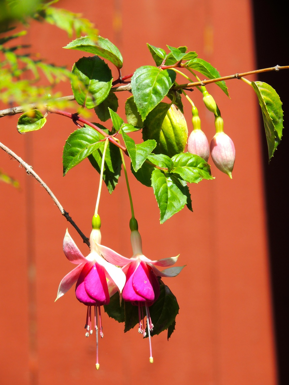 I haven't been watering the fuchsia, though. It's like a tree now, with very deep roots.