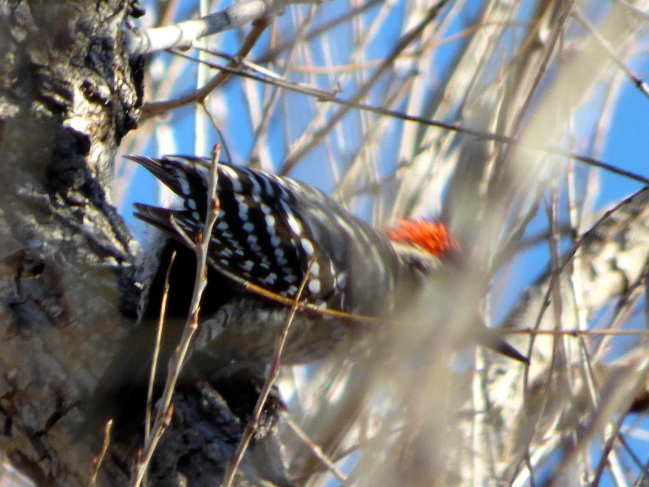 Cactus or ladderback woodpecker
