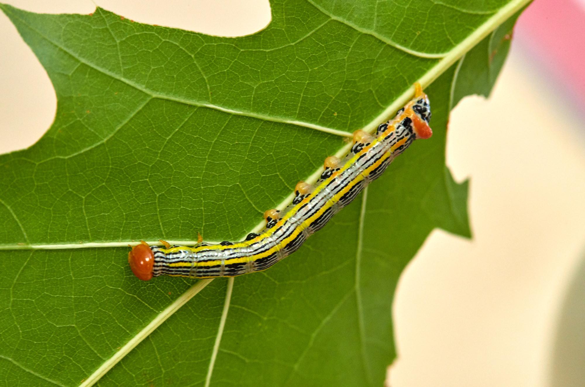 Caterpillars - 2016    - 40284- 000100.jpg