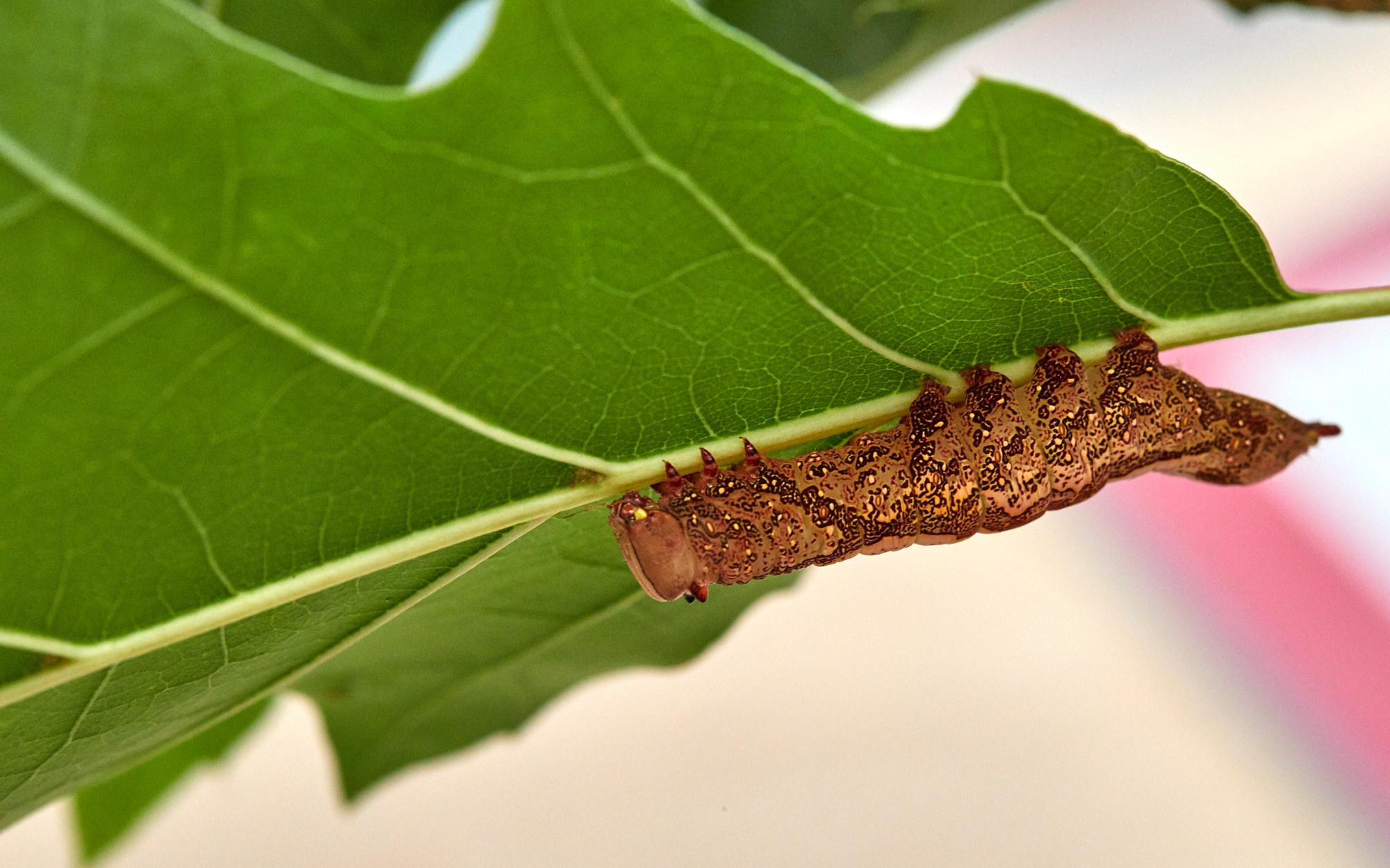 Caterpillars - 2016    - 40286- 000102.jpg