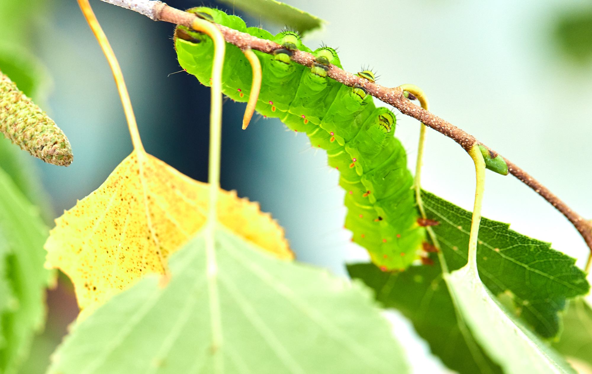 Caterpillars - 2016    - 40357- 000138.jpg