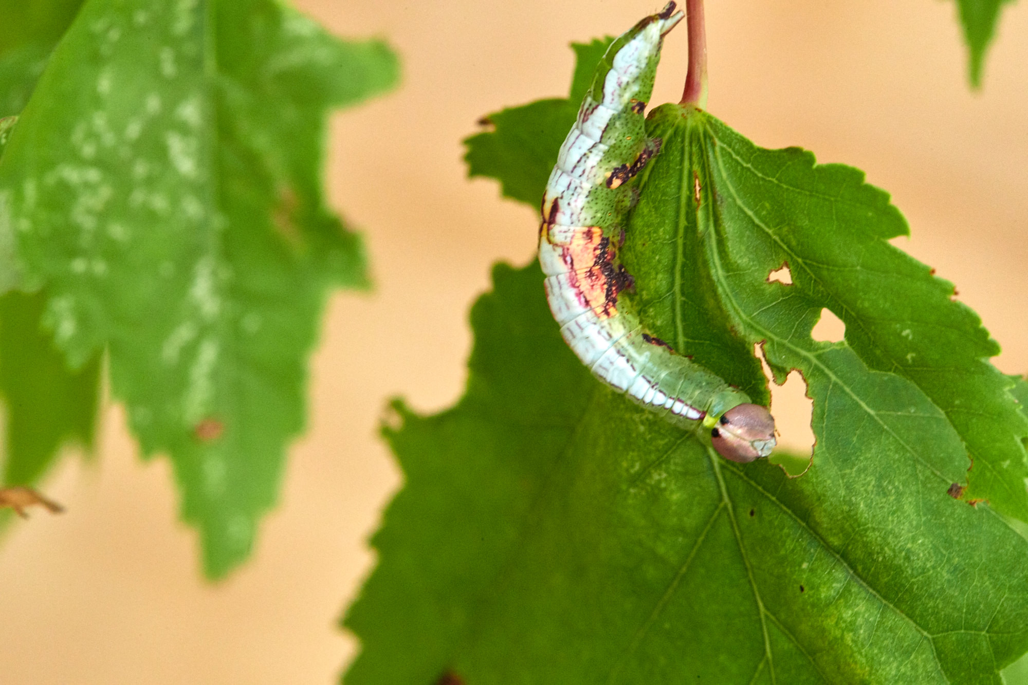 Caterpillars - 2016    - 40363- 000140.jpg
