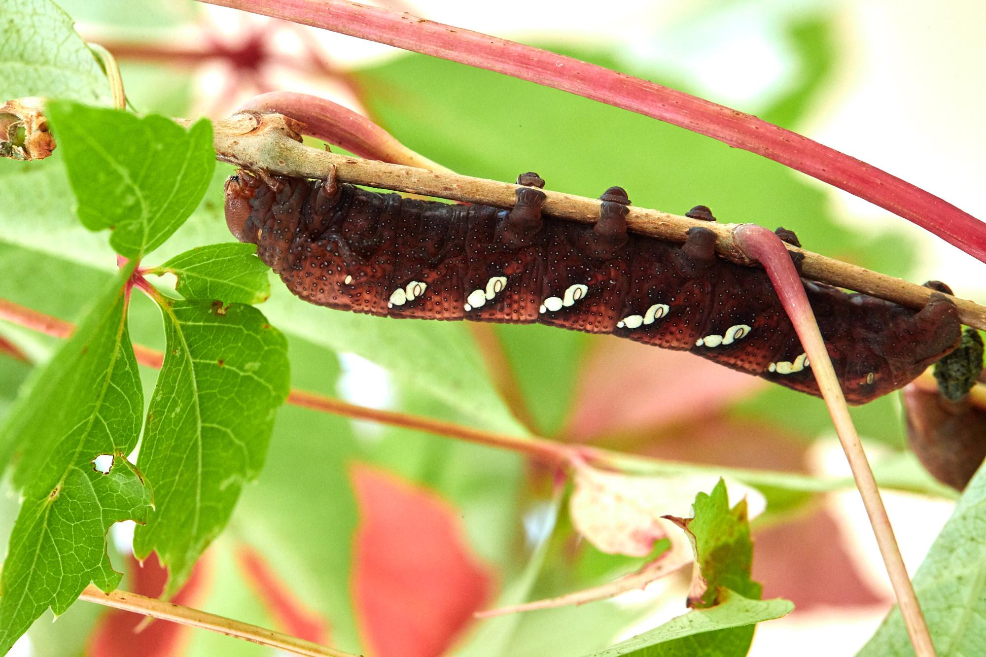 Caterpillars - 2016    - 40364- 000141.jpg