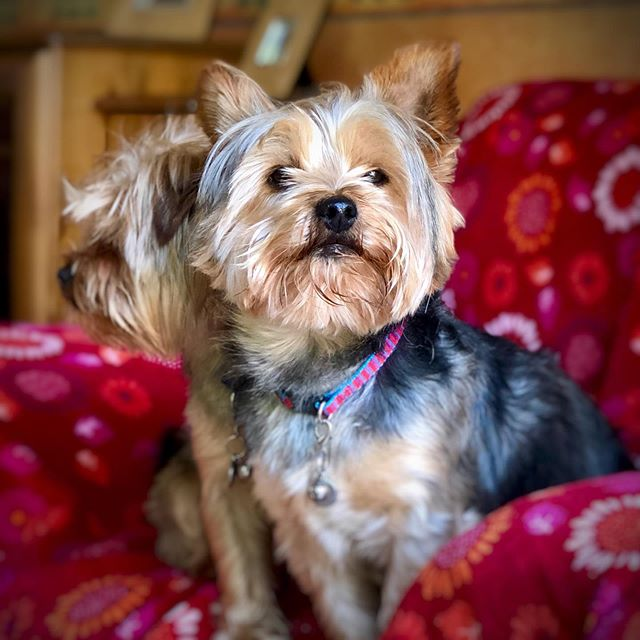 Oh Stanny Boy...! . . . #shotwithiphone #iphone #portraitmode #dogs #dogsofinstagram #dogstagram #pups #puppydog #puppygram #puppylove #puppy #snapseed