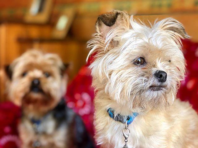 'Er Nibs! . . . #shotwithiphone #iphone #dogs #dogsofinstagram #dogstagram #pups #puppydog #puppygram #puppylove #puppy #northernireland #lisburn #belfast #nibly #shorkie