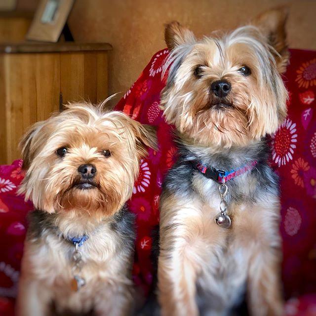 Bros! . . . #shotwithiphone #iphone #northernireland #lisburn #dogs #dogsofinstagram #dogstagram #pups #puppydog #puppygram #puppylove #puppy #stan #ollie #belfast #yorkie