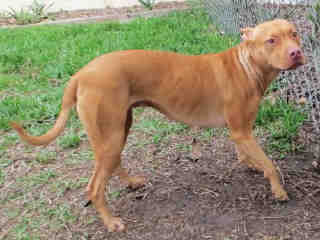 Lilly  (5 Years Old) Pit Bull/Terrier Mix