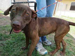 Lori  (1 Year Old) Pit Bull Terrier/Labrador Retriever